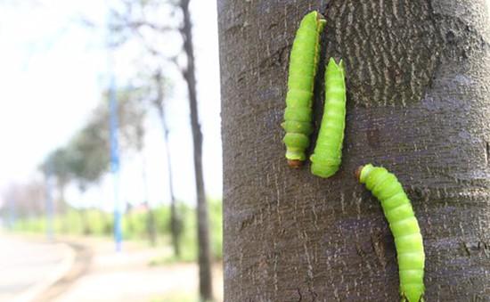 Đàn sâu ăn trụi hàng chục cây xanh ở TP.HCM