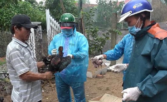 Phú Yên: Nỗ lực tiêm phòng bao vây ổ dịch cúm gia cầm