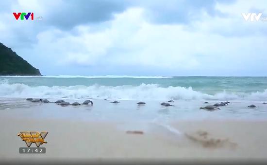 Những người cha chăm sóc cho hàng nghìn chú rùa con mỗi năm tại Côn Đảo