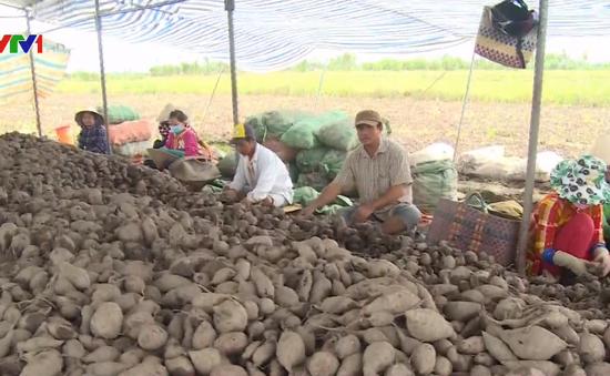Vĩnh Long: Hơn 4.000 hecta khoai lang không đầu ra