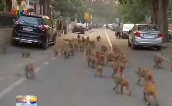 Ấn Độ: Gần 5.000 con khỉ xâm chiếm Thủ đô New Delhi