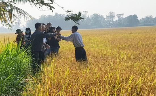 Phát triển chuỗi giá trị lúa gạo - Cơ hội mới cho nông dân Việt