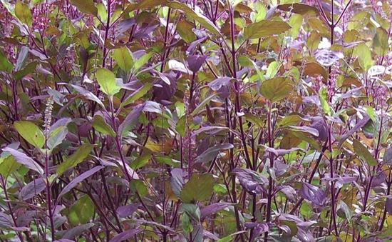 Hương nhu tía - vị thuốc giúp giải cảm, hạ sốt