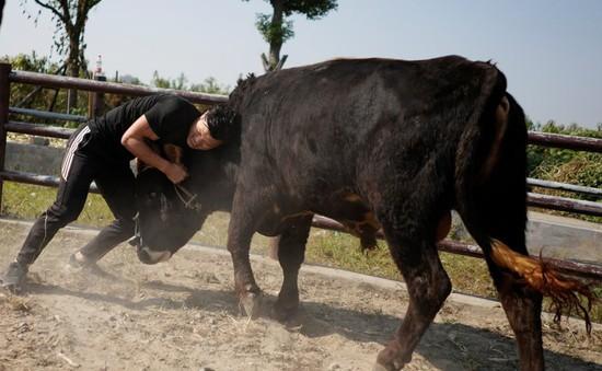 """Môn thể thao """"vật bò"""" kỳ lạ ở Trung Quốc"""