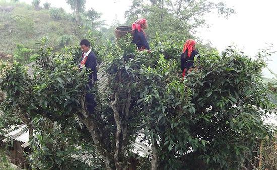 Hà Giang đón nhận chỉ dẫn địa lý cho sản phẩm chè Shan tuyết