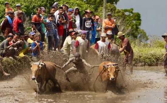 Lễ hội đua bò ở Indonesia