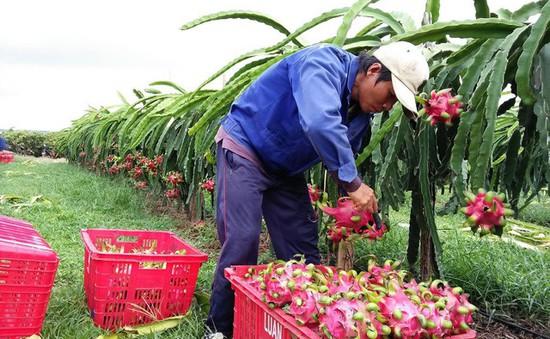 Thanh long Bình Thuận giữ giá cao từ nay đến Tết Nguyên đán