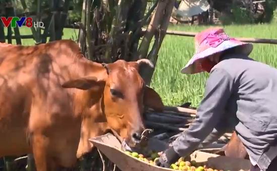 Giá táo chưa tới 3.000 đồng/kg, nông dân Ninh Thuận đổ bỏ cho bò ăn