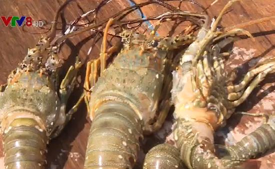 Khánh Hòa: Tôm hùm chết hàng loạt không rõ nguyên nhân