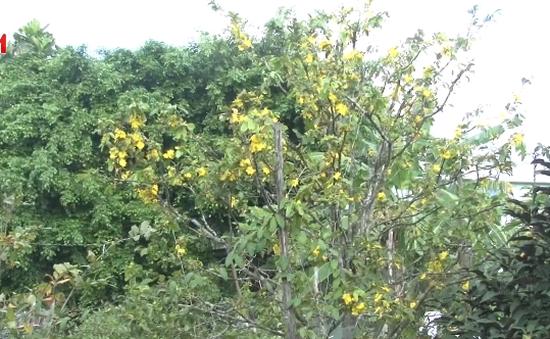Mai vàng nở sớm do thời tiết bất thường