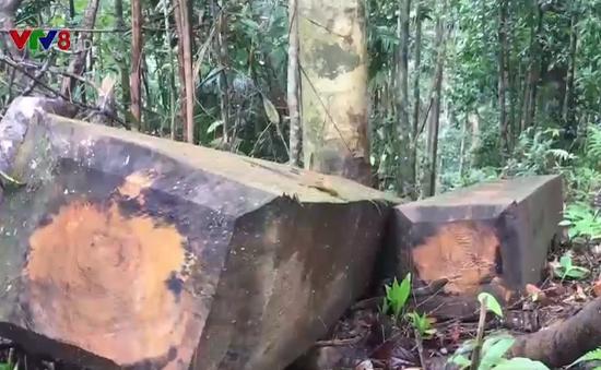 Nạn phá rừng bùng phát nghiêm trọng tại Kon Tum
