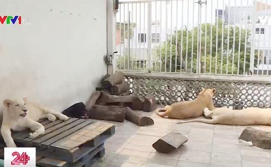 Nuôi 3 con sư tử trắng để làm thú cảnh trong nhà