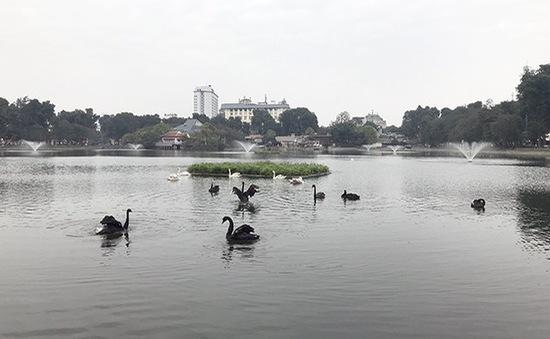Lý giải việc bầy thiên nga ở hồ Thiền Quang không bao giờ bay ra khỏi hồ