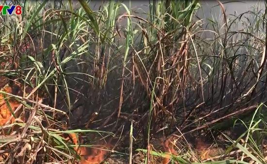 Vụ hỏa hoạn tại cánh đồng mía ở Kon Tum: Cần sớm thu mua mía cho dân
