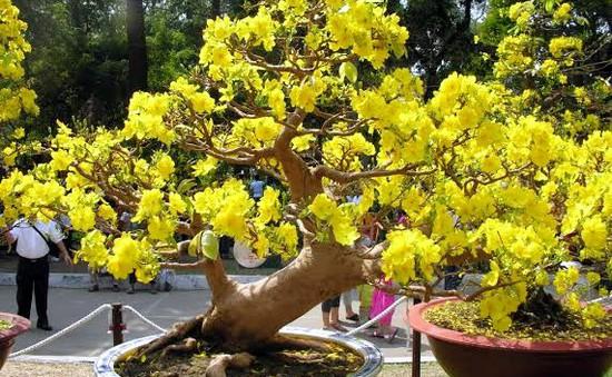 Mai vàng kiểng trúng giá, nhà vườn thu lợi nhuận 70%