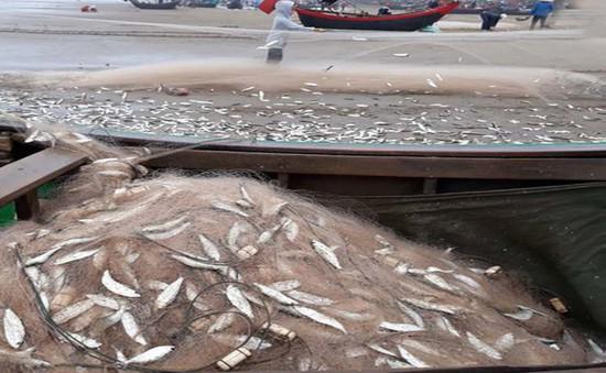 Ngư dân Quảng Bình được mùa, trúng đậm cá trích