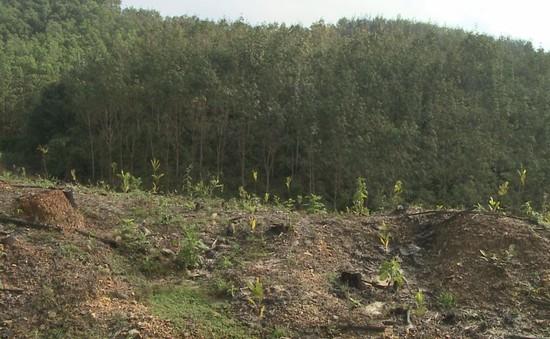Đất trồng cao su Quảng Nam bỏ hoang, người dân điêu đứng