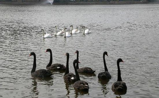 Dừng thí điểm thả thiên nga ở Hồ Gươm