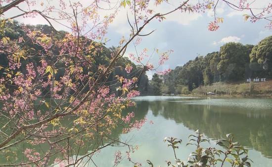 Mai anh đào về cùng mùa xuân ở Măng Đen, Kon Tum
