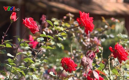 Ngỡ ngàng vẻ đẹp của vườn hồng cổ châu Âu tại Việt Nam