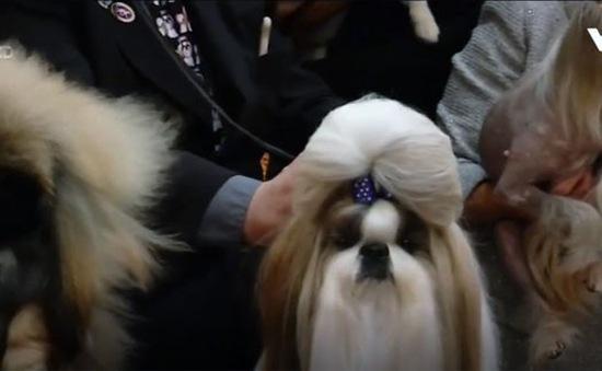 Cuộc thi sắc đẹp dành riêng cho các giống chó châu Á