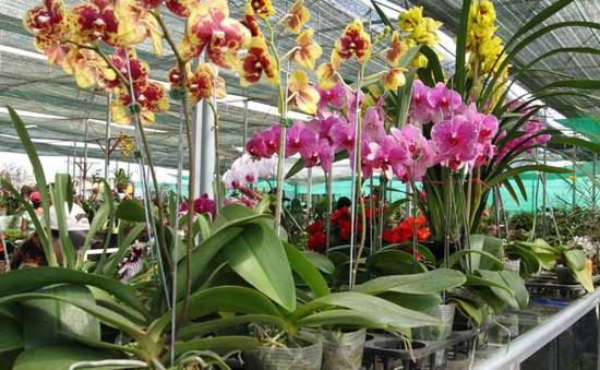 Nhiều giống lan mới cung cấp cho thị trường Tết