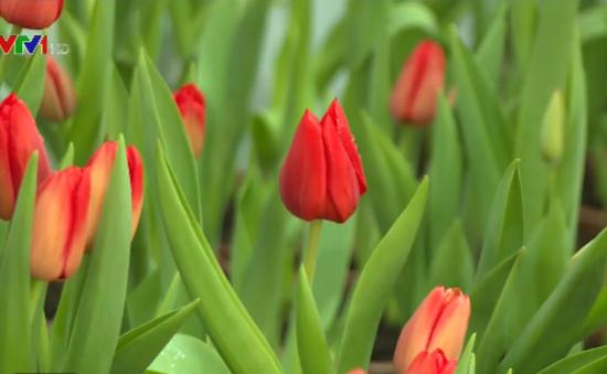 Thưởng ngoạn hoa tulip tại Phú Yên dịp Tết Nguyên đán