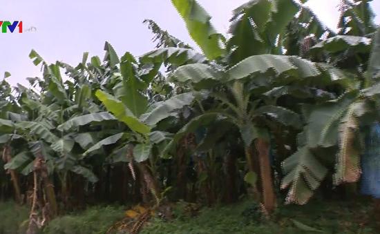 Lo ngại diện tích trồng chuối tăng mạnh