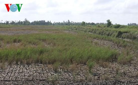Hạn mặn xâm nhập, hàng nghìn ha lúa ở Hậu Giang có nguy cơ thiệt hại