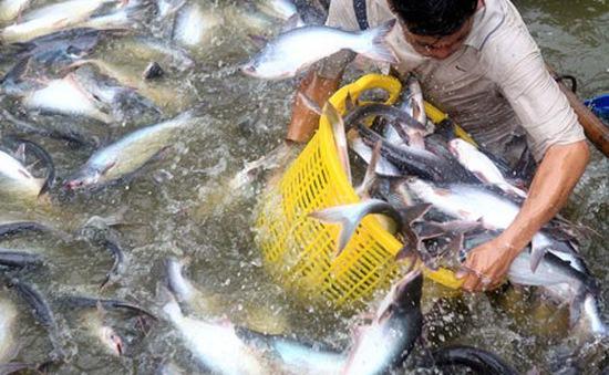 Gần 600 tỷ đồng cho sản xuất cá tra giống
