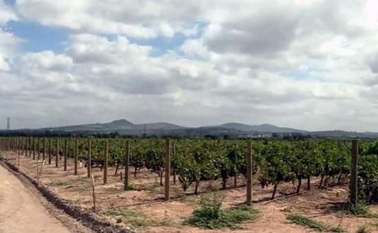 Nam Phi: Sản xuất rượu vang gặp khó khăn do thiếu nước