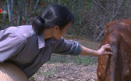Hộ nghèo được hỗ trợ bò nhiễm bệnh