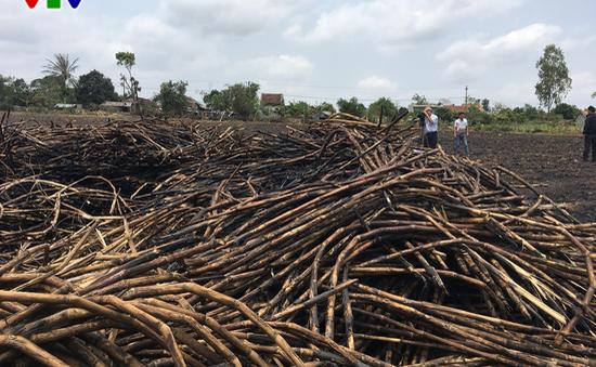 Phú Yên: Tư thương không mua, nông dân đốt mía !