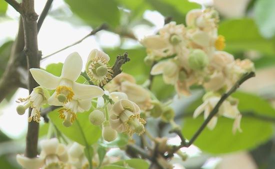 Du lịch mùa hoa thanh trà ở cố đô Huế