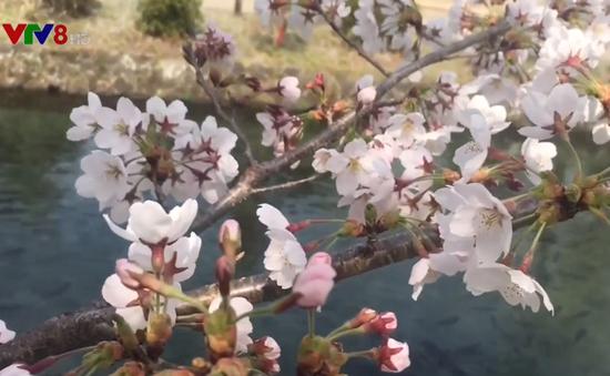 Mùa hoa anh đào Nhật Bản hấp dẫn du khách Việt