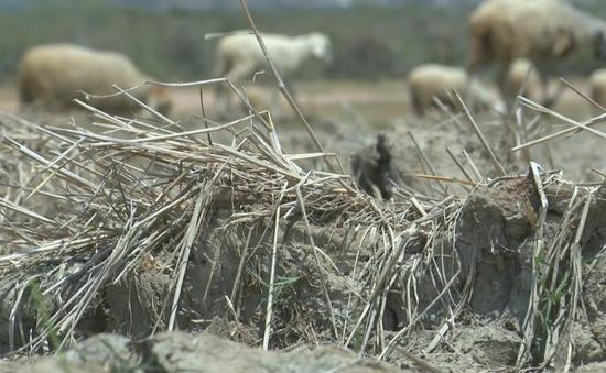 Nỗi ám ảnh nắng hạn quay lại, nông dân Ninh Thuận nỗ lực cứu đàn gia súc