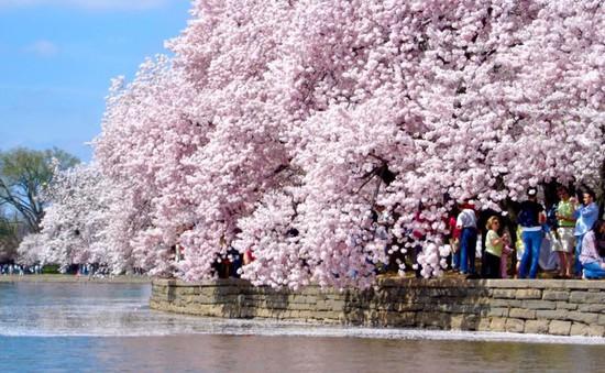 Hoa anh đào bừng nở bên hồ ở trung tâm Washington, Mỹ