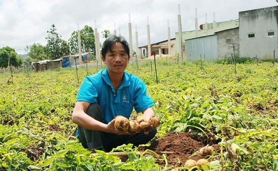 Lâm Đồng lên kế hoạch xây dựng thương hiệu khoai tây Đà Lạt