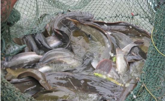 """""""Hô biến"""" cá trê lai thành cá trê đồng để kiếm lời"""
