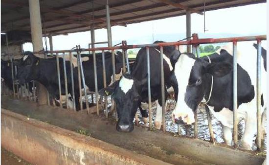 Nông dân Lâm Đồng thờ ơ với bò sữa