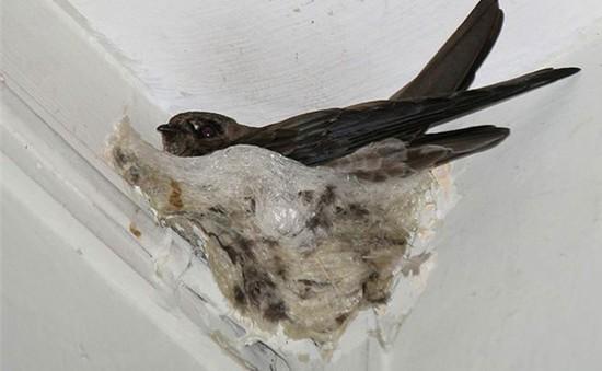 Làm giàu từ nghề nuôi chim yến tại Phú Yên