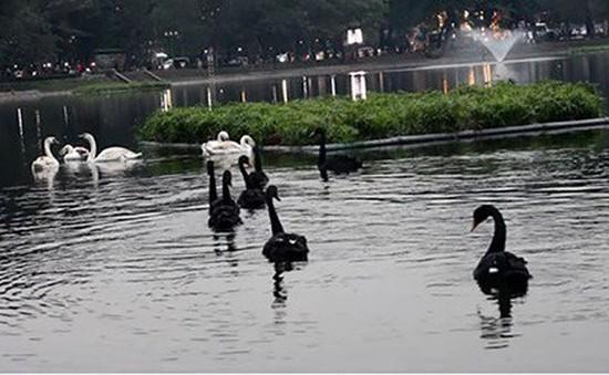 Một con thiên nga ở hồ Thiền Quang bị mắc lưỡi câu trộm