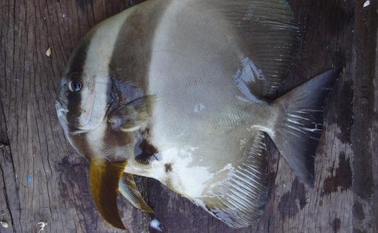 """Thú vị cá """"tai bồ"""" xoay tròn khi ăn"""