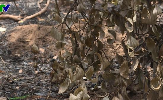 Đắk Lắk: Điều tra làm rõ vụ kẻ gian phóng hỏa đốt cháy 500 trụ tiêu của một hộ dân