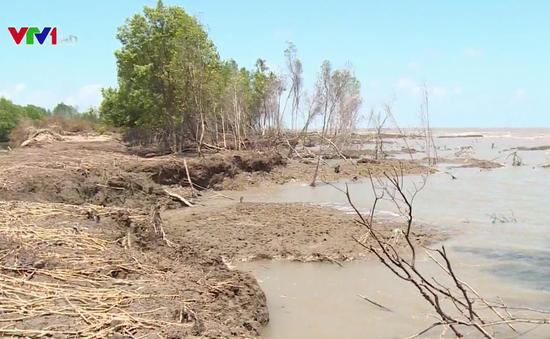 Cà Mau mất hơn 400ha rừng phòng hộ mỗi năm do nước biển dâng
