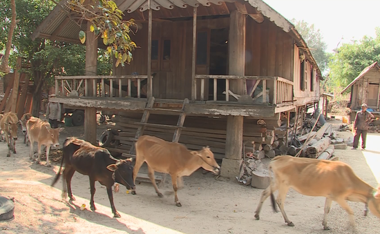 Ô nhiễm từ tập quán chăn nuôi lạc hậu ở vùng sâu vùng xa Tây Nguyên