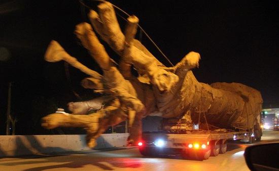 Yêu cầu làm rõ hành vi cho phương tiện chở cây quá khổ