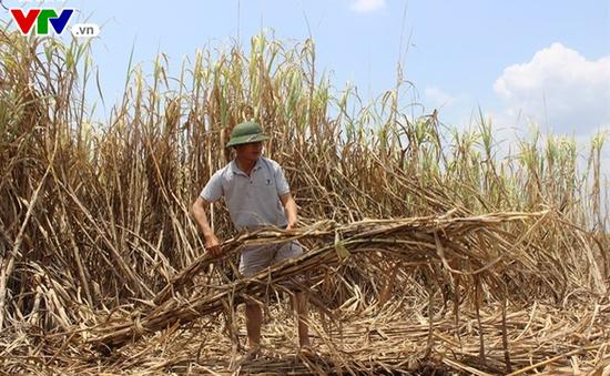 Hàng ngàn hecta mía ở Đắk Lắk héo khô trên đồng