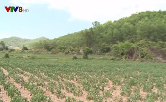 Phú Yên khuyến cáo về việc ồ ạt chuyển đổi các loại cây trồng sang trồng sắn
