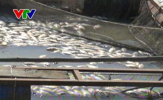 Đắk Nông: Cá lồng trên sông Krông Nô bị chết nghi do ô nhiễm nguồn nước